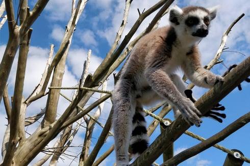 Lemur at Amazon World Zoo Park attraction